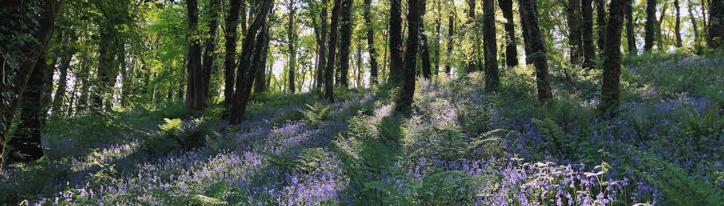 Explore the bluebell woods at Alder Vineyard