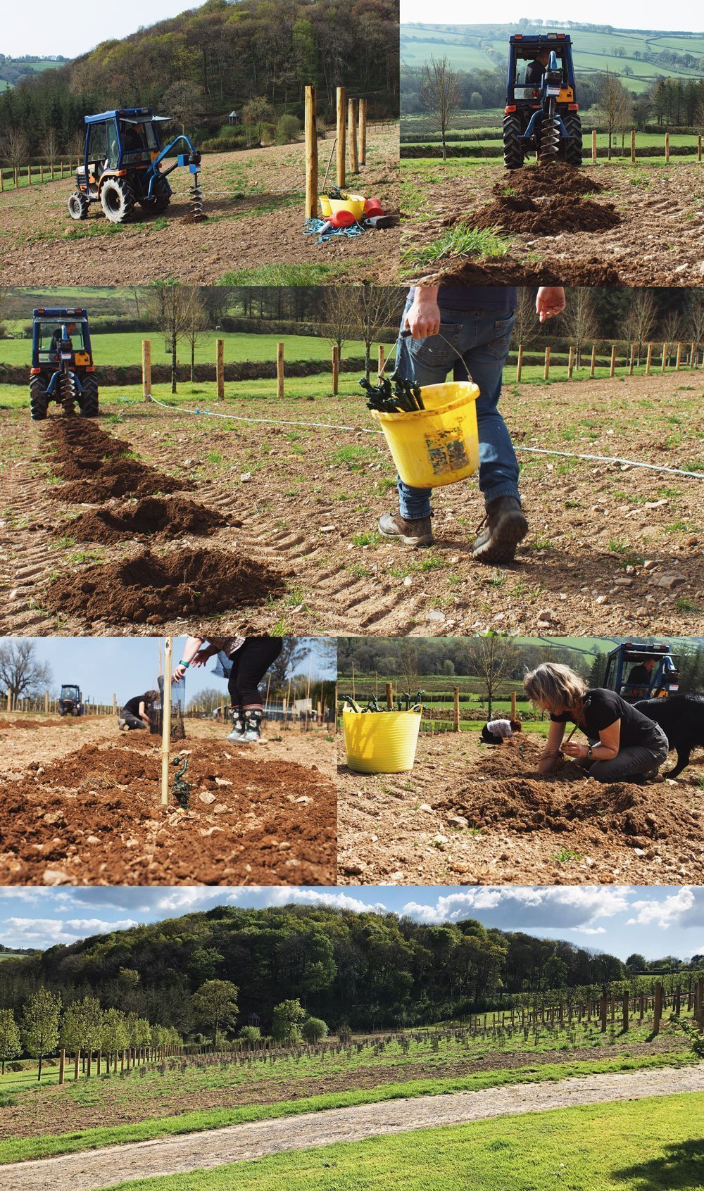 seyval blanc English sparkling wine planting in pictures